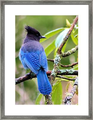 Stellar Blue Jay Framed Print