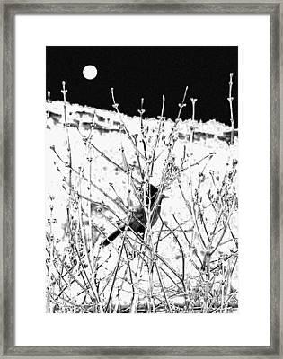 Stellar Jay   Framed Print by Will Borden