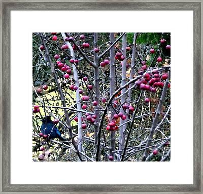 Stellar Jay In Crab Apples Framed Print by Will Borden