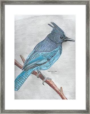 Stellar's Jay Framed Print by Don  Gallacher