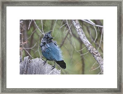 Framed Print featuring the photograph Stellar's Jay by Gary Lengyel