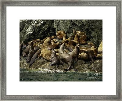 Alaskan Steller Sea Lions #4 Framed Print by Teresa A and Preston S Cole Photography