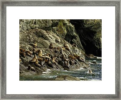 Alaskan Steller Sea Lions #5 Framed Print by Teresa A and Preston S Cole Photography