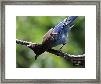 Stellers Jay . 7d6360 Framed Print by Wingsdomain Art and Photography