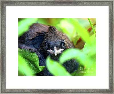 Stellers Jay Chick . 40d501 Framed Print by Wingsdomain Art and Photography