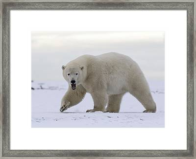 Stepping Out In The Arctic Framed Print