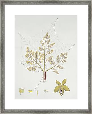 Sterculia Urens Framed Print by English School