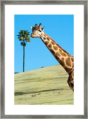 Sticking Your Neck Out Framed Print by Melody Watson