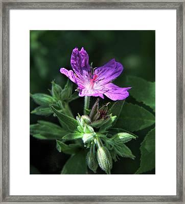 Sticky Purple Geranium Wildflower Framed Print