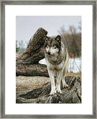 Still Wolf Framed Print