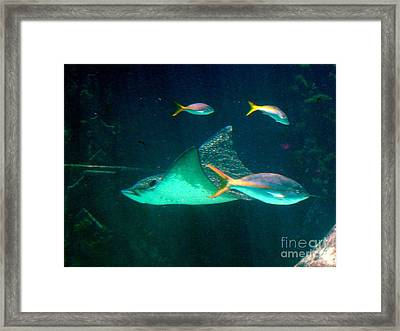 Sting Ray Framed Print by Gary Wonning