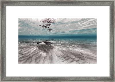 Stingray Across The Sand Framed Print