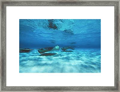 Stingray City Underwater With Stingrays Framed Print by James Forte