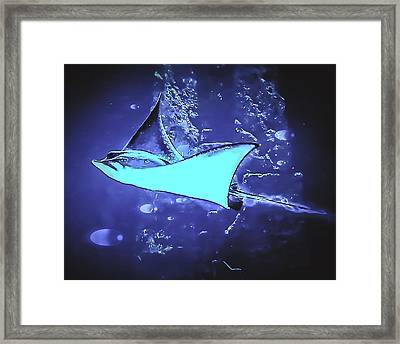Stingray Swimming In The Bahamas Framed Print