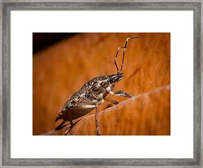 Stink Bug Framed Print by Jean Noren
