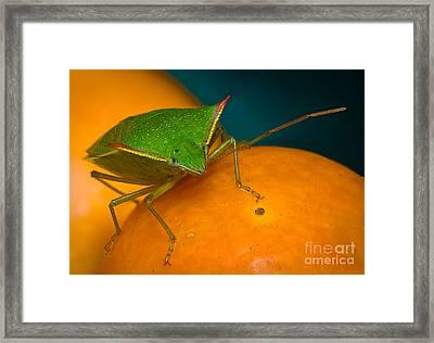 Stink Bug On Kumquats Framed Print by Warren Sarle