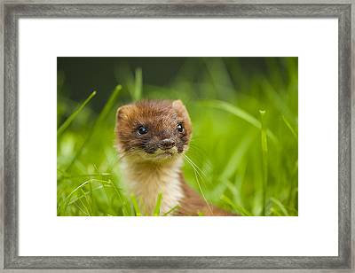 Stoat Portrait Framed Print by Paul Neville