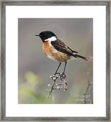 Stonechat Framed Print by Terri Waters