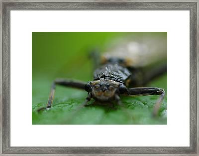 Stonefly Framed Print by Scott Gould