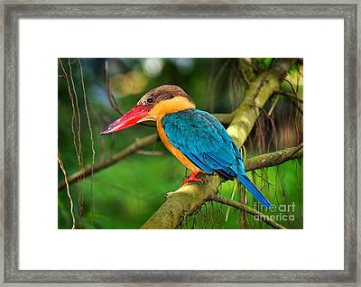Stork-billed Kingfisher Framed Print by Louise Heusinkveld