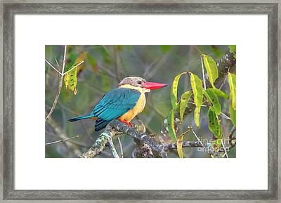 Stork-billed Kingfisher Framed Print