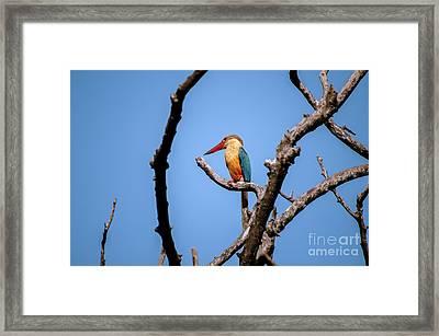 Stork-billed Kingfisher Framed Print by Venura Herath