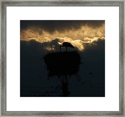 Stork With Evening Sun Light  Framed Print