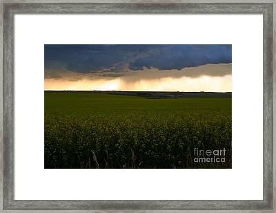 Storm Over The Canola Fields Framed Print