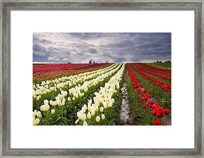 Storm Over Tulips Framed Print by Mike  Dawson