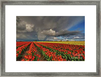 Storm Tulips Framed Print by Mike Reid