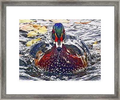 Straight Ahead Wood Duck Framed Print by Jean Noren