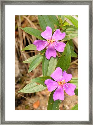 Straits Rhododendron Framed Print