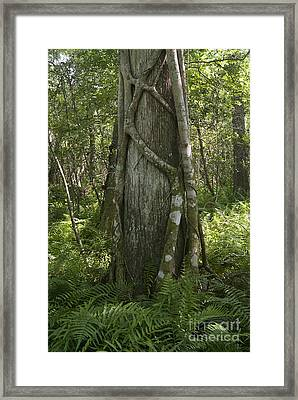Strangler Fig And Cypress Tree, Florida Framed Print by Scott Camazine