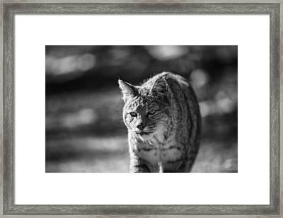 Stray Cat Strut Framed Print by Ian Riddler
