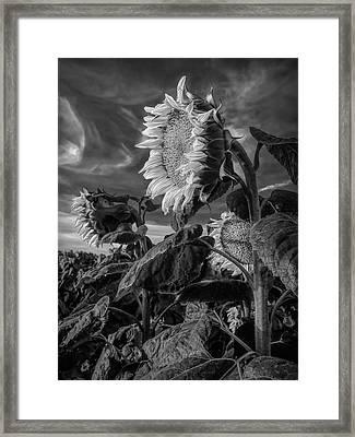 Strength Of A Sunflower Framed Print