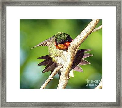 Stretching His Feathers - Ruby-throated Hummingbird Framed Print by Cindy Treger