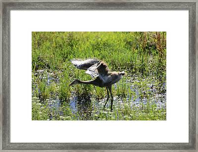 Stretching Sandhill Wings Framed Print