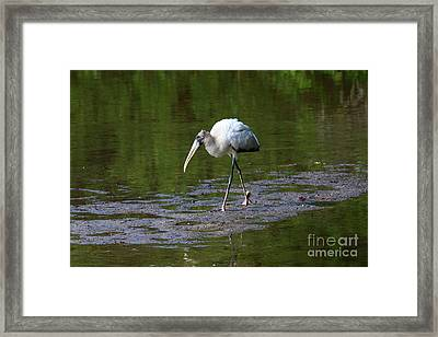 Striding Wood Stork Framed Print