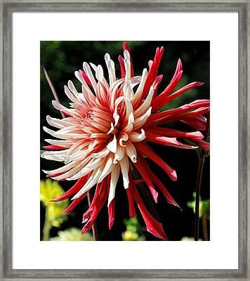 Striking Dahlia Red And White Framed Print