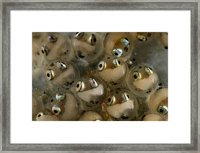 Striped Blenny Fish Eggs Magnified 120 Framed Print