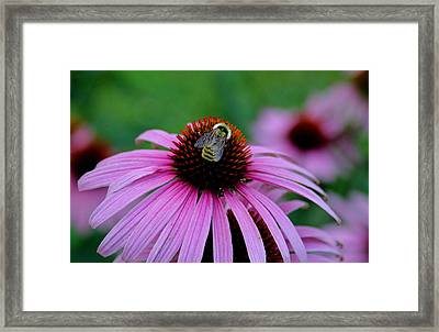 Striped Bumble Bee Framed Print by Martin Morehead