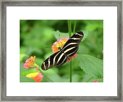 Striped Butterfly Framed Print