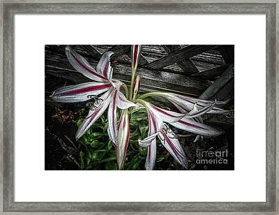 Striped Lilies Framed Print
