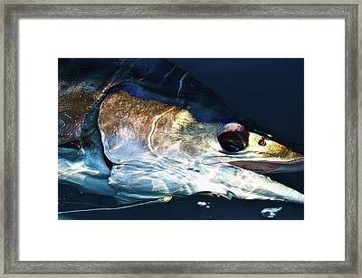 Striped Marlin Framed Print by Tosh Brown