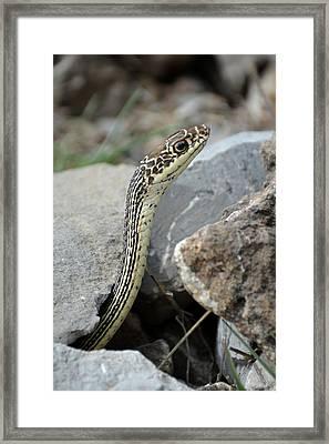 Striped Whipsnake, Masticophis Taeniatus Framed Print