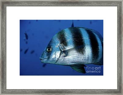 Striped Zebra Seabream Swimming In Blue Waters Framed Print by Sami Sarkis