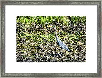 Strolling Great Blue Heron Framed Print by Frank Wilson