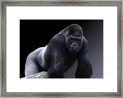 Strong Male Gorilla Framed Print