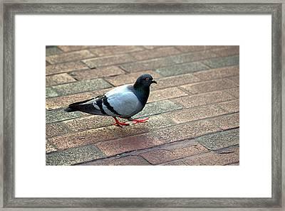 Strutting Pigeon Framed Print
