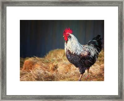 Strutting Rooster Framed Print